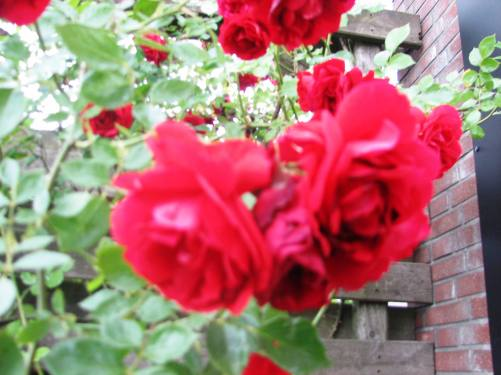Red Roses for All My Beautiful Whom Participated - January to June 2015